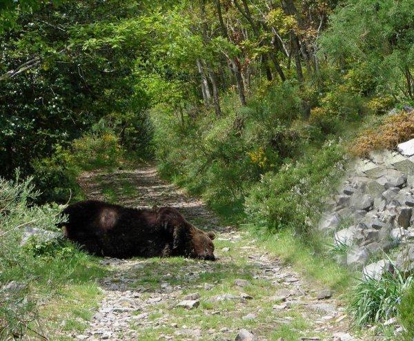 Este oso murió abatido a disparos en la primavera de 2006 en Los Ancares de León.